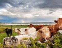 Avoiding Lead Poisoning in Cattle Entering The Food Chain