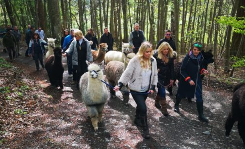 Event of a Lunchtime: The NOT HIT Alpaca Trekking Trip to the Andes of Innerleithen